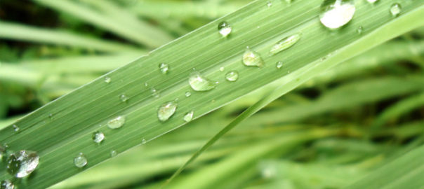 Lovely Lemongrass – a Natural Solution